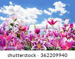 Beautiful Pink Lily Flower In...