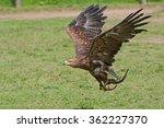 A Golden Eagle During A...
