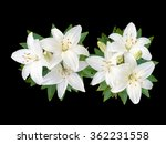 White Lily   Flowers Isolated...