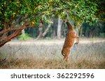 Eating Wild  Male Cheetal Deer...
