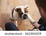 bulldog playing with owner | Shutterstock . vector #362304329