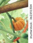 butter nut squash  | Shutterstock . vector #362351504