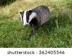badger | Shutterstock . vector #362405546