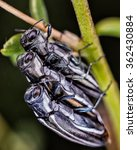 Small photo of Three insects (Agrilus bilineatus) photographed in their natural environment.
