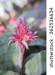 Small photo of Aechmea fasciata in the garden outdoors.