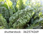 healthy green spinach plants | Shutterstock . vector #362574269