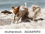 Stock photo funny dog on the beach 362669093