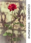 Red Rose With Wall Background