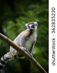 lemur   Shutterstock . vector #362835230