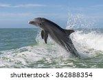 atlantic bottlenose dolphins  ... | Shutterstock . vector #362888354