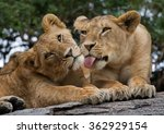 two young lion on a big rock....   Shutterstock . vector #362929154