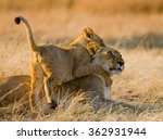 Lioness And Her Cubs Playing...