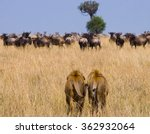 two big male lions on the hunt. ...   Shutterstock . vector #362932064