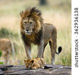 Big Male Lion With Cub....