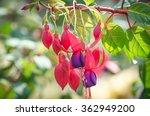 Fuchsia Or Onagraceae Fuchsia...