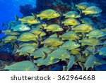 Small photo of Yellow grunts school under water. A bunch of fishes near a coral reef patch stay together.