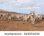 australian cattle with horns on ...   Shutterstock . vector #363052634