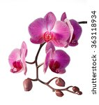 Purple Orchid   Detail Of...