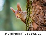 Curious Red Squirrel Peeking...
