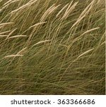 detail of dune grass.the dune... | Shutterstock . vector #363366686