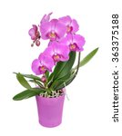 purple phalaenopsis orchid...   Shutterstock . vector #363375188
