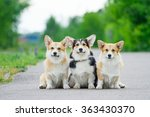Welsh Corgi Pembroke  Three...
