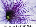 White And Purple Petunia  Close ...
