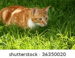 Stock photo immature ginger kitten stalking garden insect 36350020