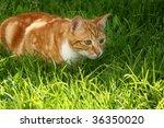 Stock photo immature ginger kitten stalking garden insect 36350020