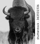 American Bison  Buffalo  Is...