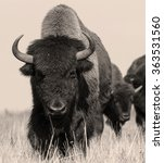American Bison Or Buffalo In...