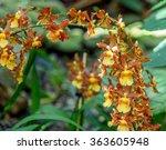 "Small photo of Orchid Colmanara wildcat ""Purple Fairy"". The addition to the 'Wildcat Family' with purple lips is the hybrid of Odontonia Rustic Bridge x Odontocidium Crowborough."