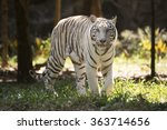 the white tiger walking and... | Shutterstock . vector #363714656
