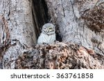 Little Owl In A Hollow Tree