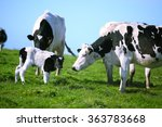Cow With Newborn Calf