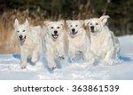 Four Golden Retriever Dogs...