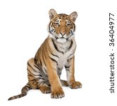 Portrait Of Bengal Tiger  1...