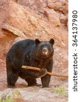 Small photo of American black bear (Ursus americanus) playing with a stick