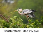 Great Blue Heron  Ardea...
