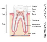 human tooth anatomy isolated on ... | Shutterstock .eps vector #364164764