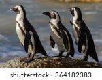 Jackass Penguin On The Trot ...