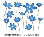 Hepatica Flowers Set. Hand...