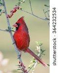 Male Northern Cardinal In...