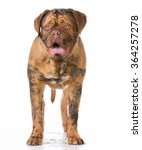 Stock photo dirty dogue de bordeaux standing on white background 364257278