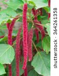 Small photo of Acalypha