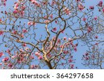 Blooming Magnolia Branches...