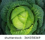 Soft Focus Of Big Cabbage In...