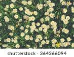 ������, ������: White and yellow chamomile