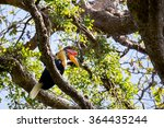 Small photo of Knobbed hornbill, Aceros cassidix, on the branch at a tree top. Tangkoko National Park, Sulawesi, Indonesia
