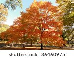 autumn tree in central park  ny ...   Shutterstock . vector #36460975